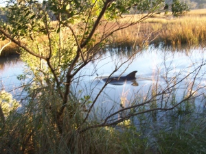 A dolphin made an appearance in the tidal marsh