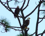 Bald Eagles scan the Gulf