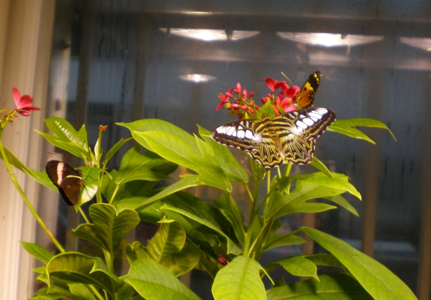 In the Butterfly Room at the Insectarium in New Orleans. Butterflies fly around you and land on you!