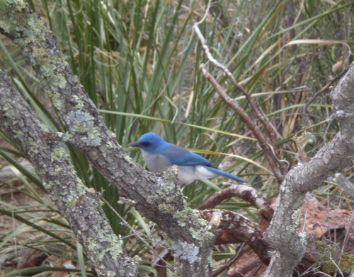 Western bluebird, anticipating the falling of crumbs.