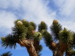 Healthy Joshua Tree blooming!